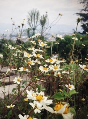 flowery field, Quetzaltenango, Guatemala