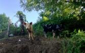 all hail pork king, Nicaragua