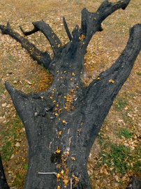 fallen leaves and burned body, Playa Grande, Costa Rica