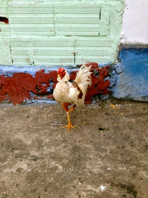 A captive hen poses on a colorful sidewalk, San Francisco, Cundinamarca