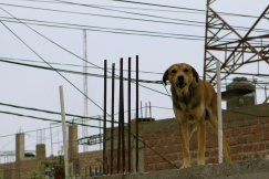 A rooftop dog stands his ground. Huarmey