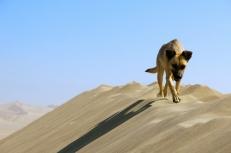 Dune dawg. Huacachina