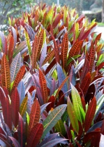 Lovely leaves. Chaclacayo